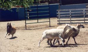 BJ 1st herding lesson too